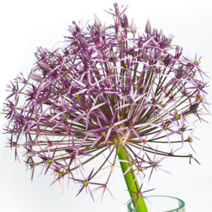 Allium-Ail ornement