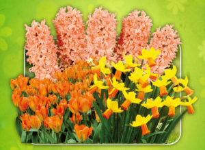 Floraison continue orange