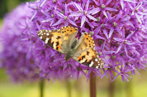 allium-papillon