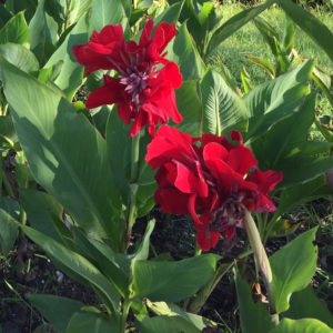 canna-rouge